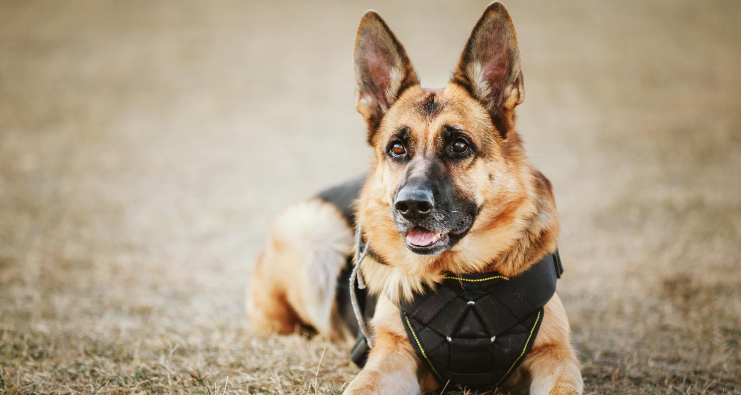 10 of the best police dog breeds in the world